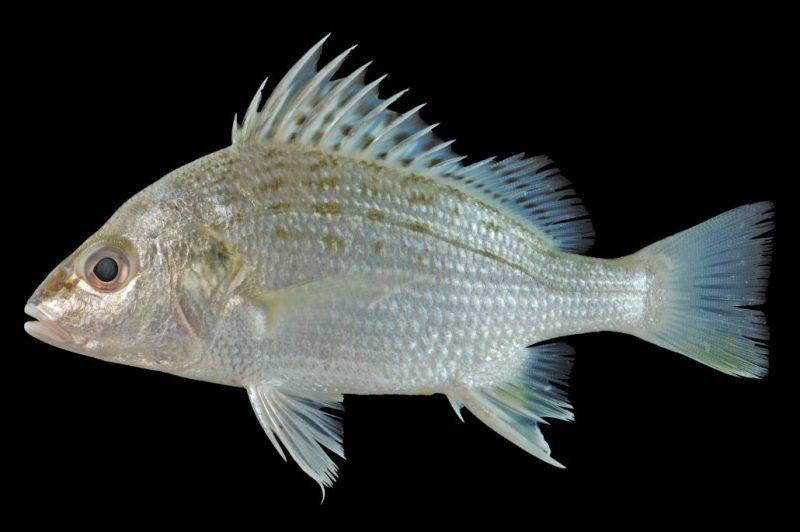 Salrini S Sweet Sour And Spicy Notes Resepi 45 Ikan Gerut Masak Pedas Harimau Menangis