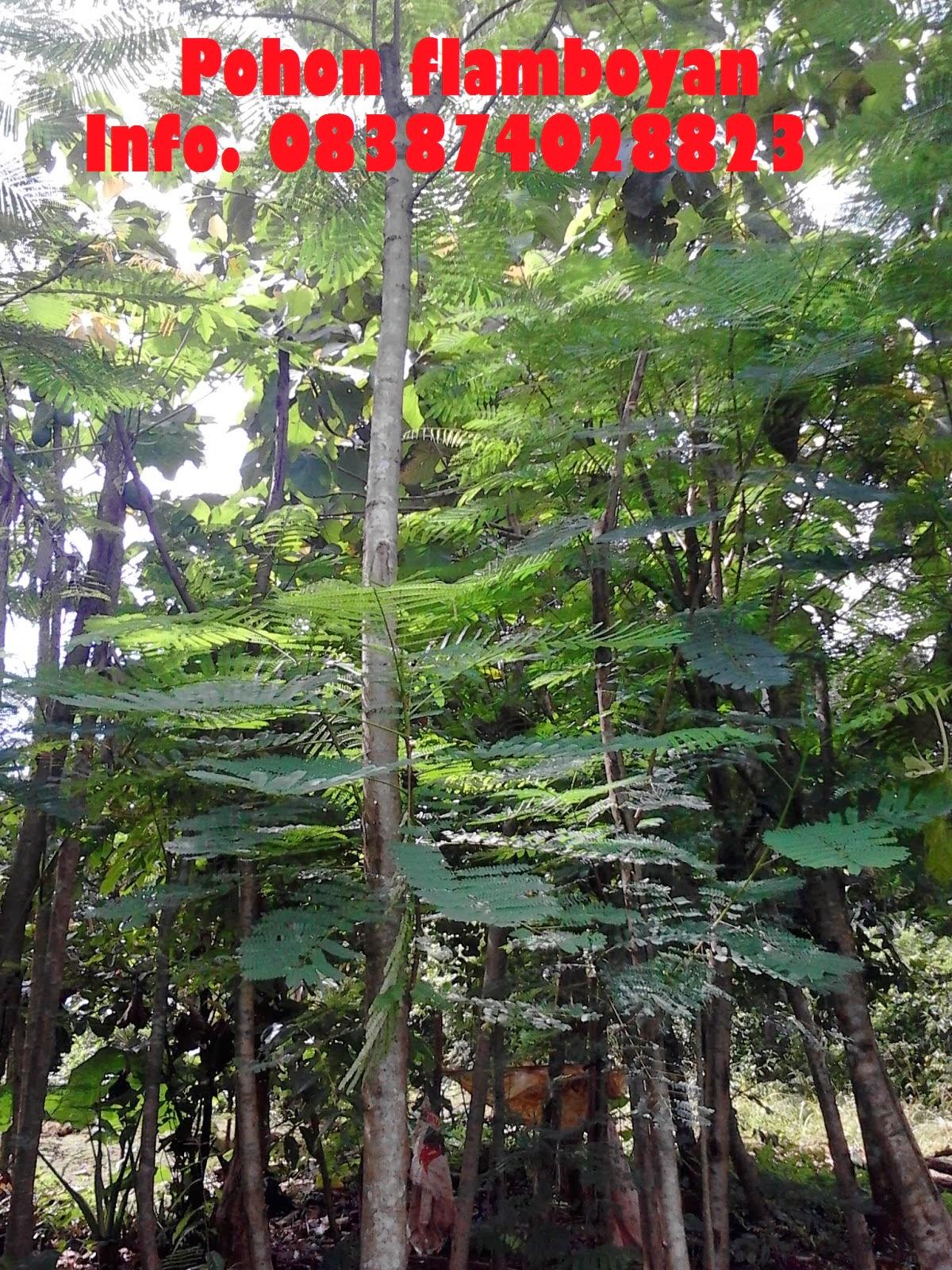 pohon-flamboyan-murah