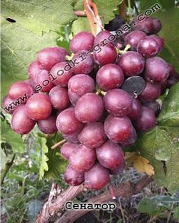 Senator Grape