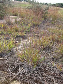 big bluestem growth habit