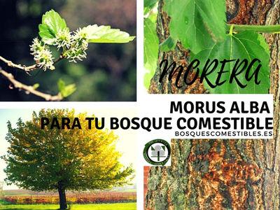 El Morus alba es una planta Medicinal, Comestible y fibras utilizables en la industria textil