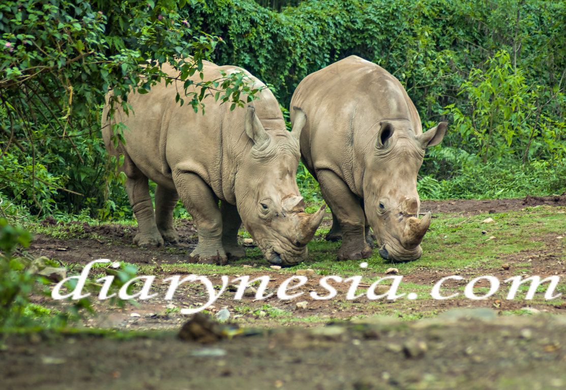 ujung kulon national park tour, ujung kulon trip, javan rhinoceros ujung kulon, diarynesia