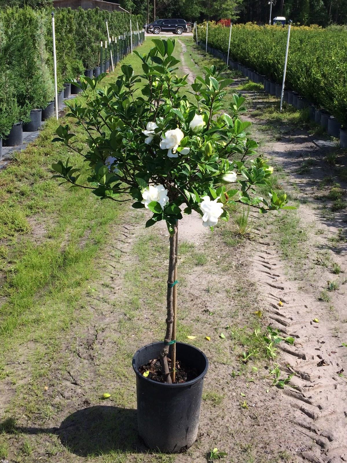 #5 Gardenia Jasminoides U0027Belmontu0027 *Patio Tree