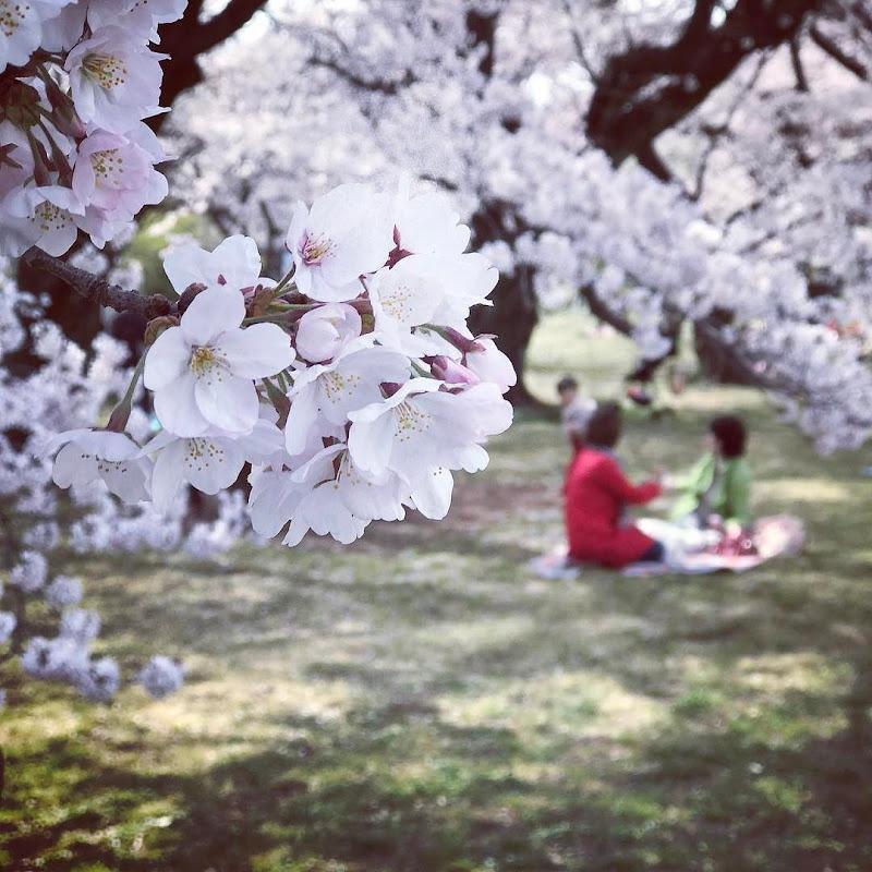 いつもの花見場所「小石川植物園」 | 2017-04-06 の日々雑感