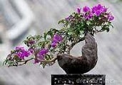 Bonsai Bougainvillea Care