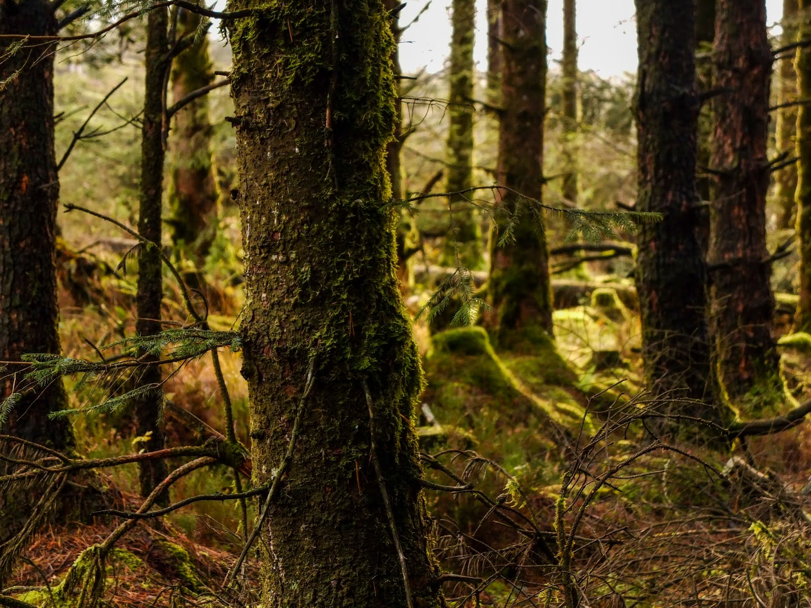 Daylight coming though trees inside a forest in North Cork.