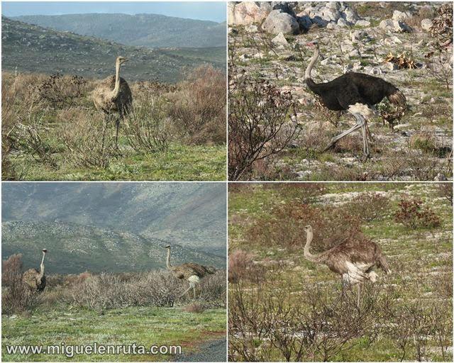 Avestruces-Cabo-Buena-Esperanza