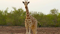 west african giraffe pictures