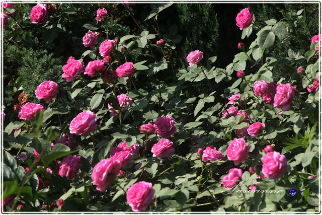 rozes Louis Odier,  foxglove, digitalis,  peonies, romantic garden, clematis asao, clematis alpina constans, hagley hybrid