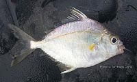 Kupang Pony Fish