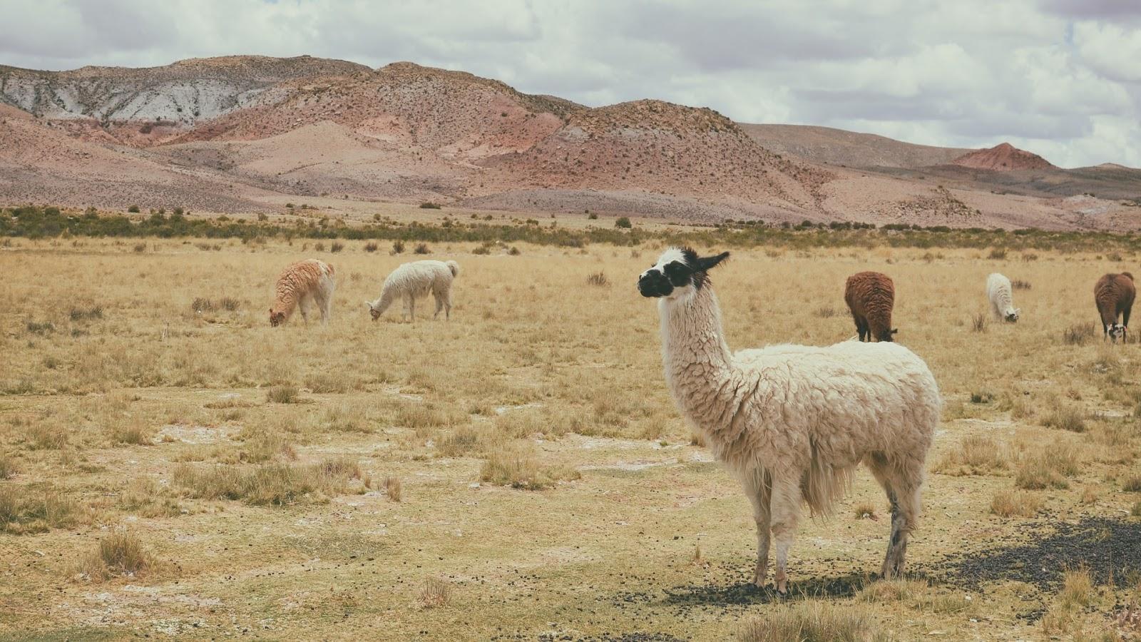 Alpakas - Wolllieferanten für weiche und natürliche Alpakawolle