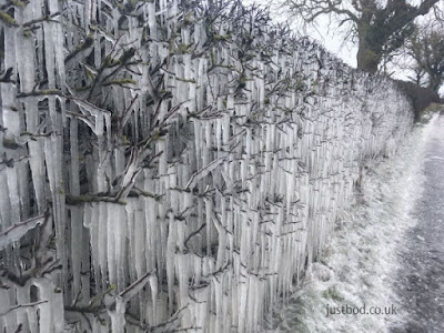 Icicle Hedge, Bishop Auckland, Co Durham