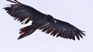 Zaganul Adonis, un vultur cu barbă, cum îi spun oamenii de ştiinţă - a zburat în România - imagine preluată de pe google