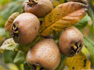 African medlar fruit images wallpaper