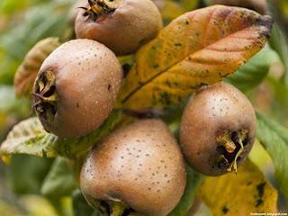 African medlar fruit images wallpaper