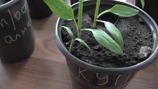 Росток перца появился через месяц после посева