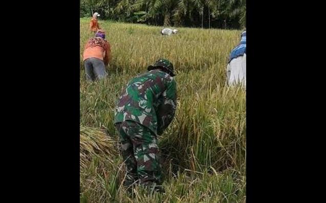 Serka Husni Dampingan Petani Memanen Padi di wilayah Desa Pertahanan