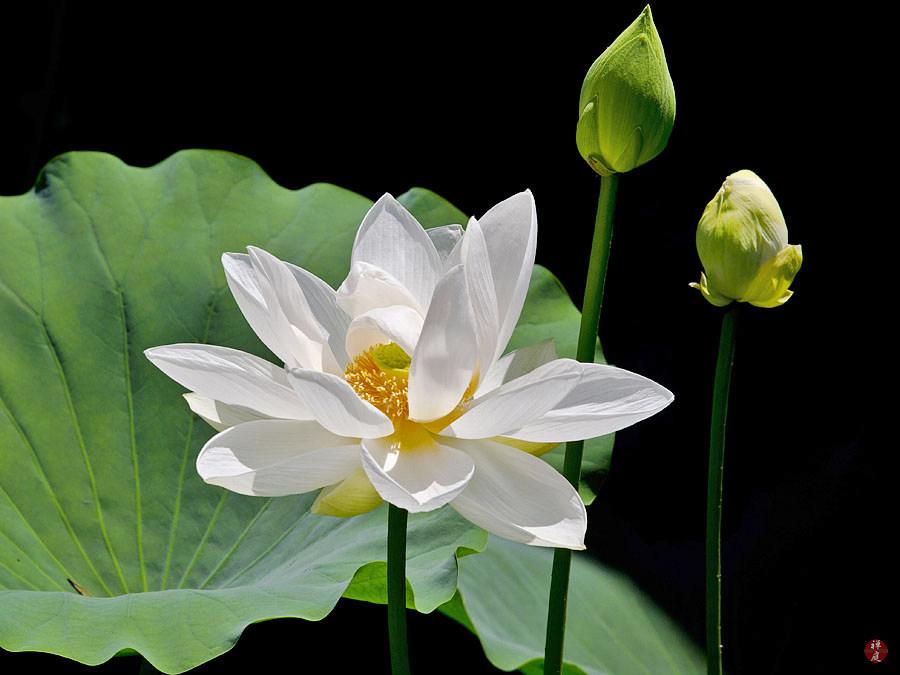 A Sacred Lotus Flower In Tsurugaoka Hachimangu