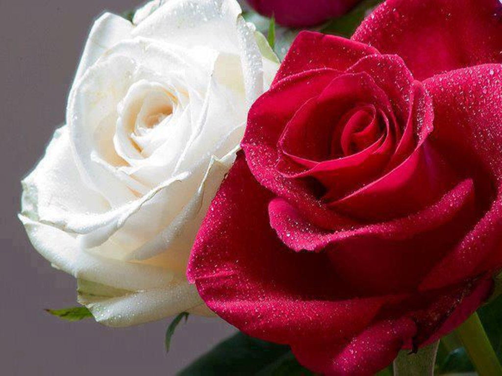 Rose flower free stock photos free stock photos many pictures of rose flower rose roses rose meaning rose fact rose symbolism rose color rose color meanings romantic flower white rose red rose biocorpaavc Choice Image
