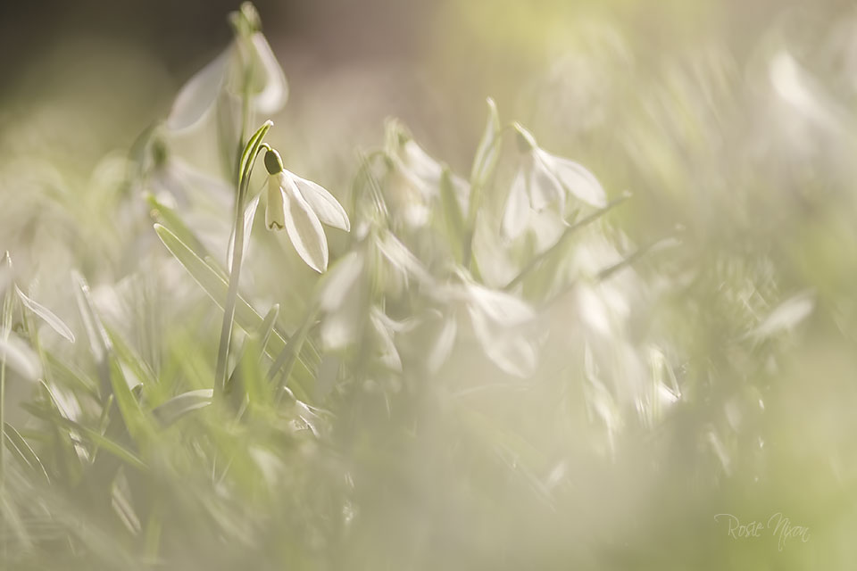 winter garden photography - Galanthus nivalis