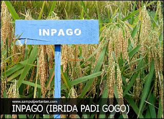 INPAGO adalah Inbrida Padi Gogo (Pengertian Inpago)