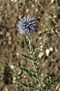 Azurite - Echinops ritro - Oursin bleu