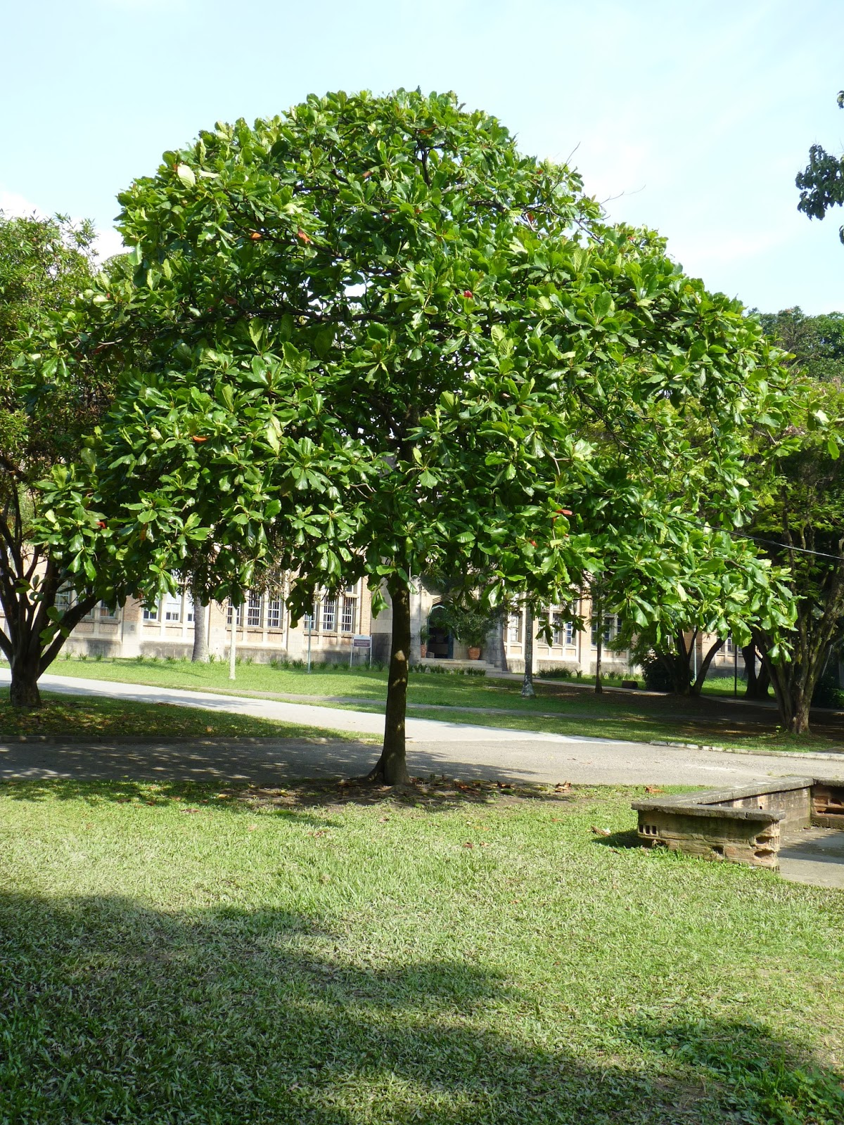 Arboretum diciembre 2015 almendro for Arboles para sombra de poca raiz