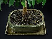 korzenie fikusa bonsai