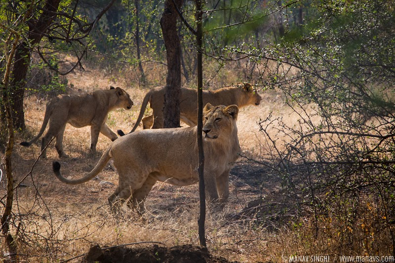 3 Lions Spotted at The Lion Safari in Nahargarh Biological Park, Jaipur, Rajasthan.