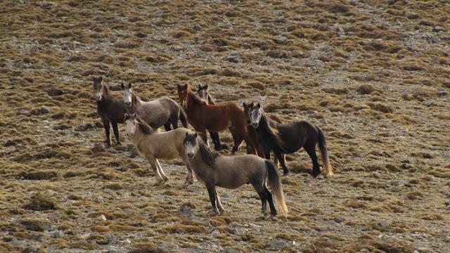 Θεσπρωτία: Τα άγρια άλογα στο Σούλι και στο Φρμακοβούνι Φιλιατών χρειάζονται φροντίδα για την επιβίωσή τους...