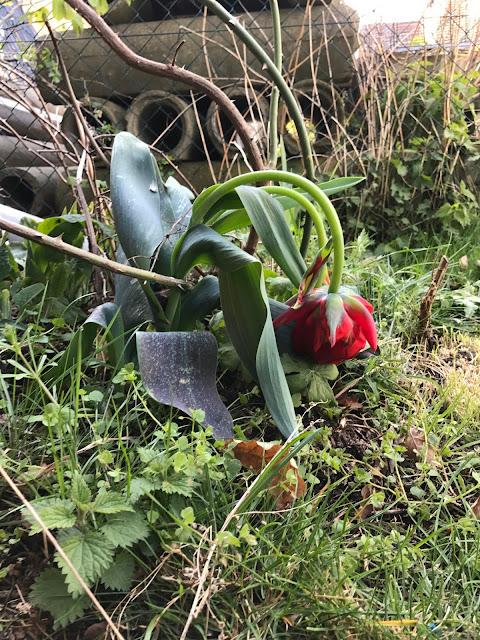 Tulpe mit  Hängekopf in tiefer Verneigung nach  Frühlings-Frostnacht (c) by Joachim Wenk