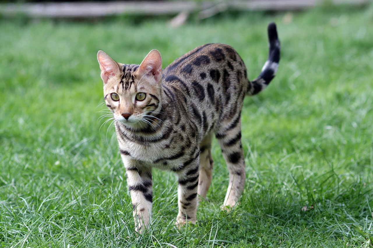 THE BENGAL CAT BREED - Deluxe Cattery | Bengal Cat Breeder