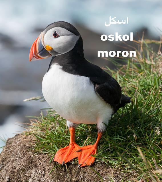 Oskol is slange for moron in Persian Farsi Language