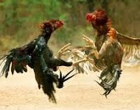 jenis-jenis ayam pama