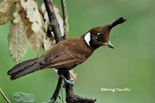 Suara Burung Cililin Pendek-Pendek (guru vokal)