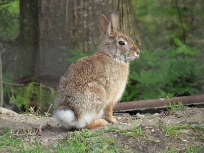 Nature Notes Blog: 5 Fun Facts - The Eastern Cottontail