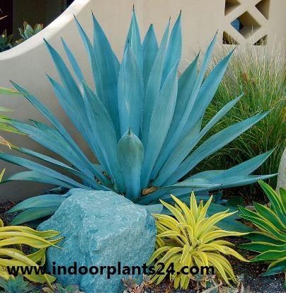 Agave americana Variegata century plant image