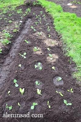 пересадка салата, посев салата, выращивание кочанного салата, рассада, яшик для рассады, сорта салата, аленин сад, всходы салата