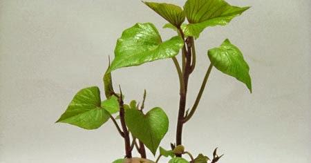 How to grow sweet potato vine indoors