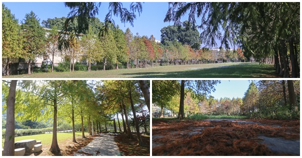 台中石岡|山下巷落羽松-巷子600公尺內就有三處落羽松森林,各有不同特色