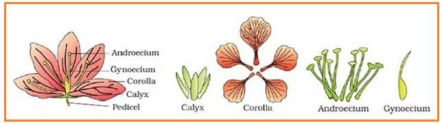 Biologi gonzaga morfologi organ tumbuhan aestivation adalah model pengaturan corolla yang terdiri dari petal di kuncup bunga sehubungan dengan petal yang lain dari karangan yang sama dikenal ccuart Images