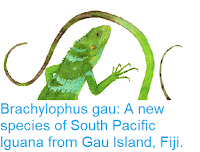 https://sciencythoughts.blogspot.com/2017/06/brachylophus-gau-new-species-of-south.html