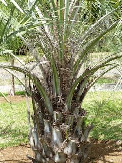 Butia capitata - Arbre à laque - Palmier abricot
