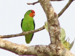 Semua Macam Jenis Burung Lovebird Lengkap dengan Gambar, 25 Jenis Lovebird Tercantik Lengkap dengan Gambarnya, Semua Macam Jenis Burung Lovebird Lengkap Dengan Gambar