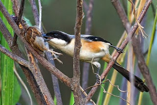 Burung Cendet - Tahap Penyatuan Indukan Burung Cendet Didalam Kadang Penangkaran - Penangkaran Burung Cendet