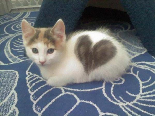 котенок с большим сердцем на боку