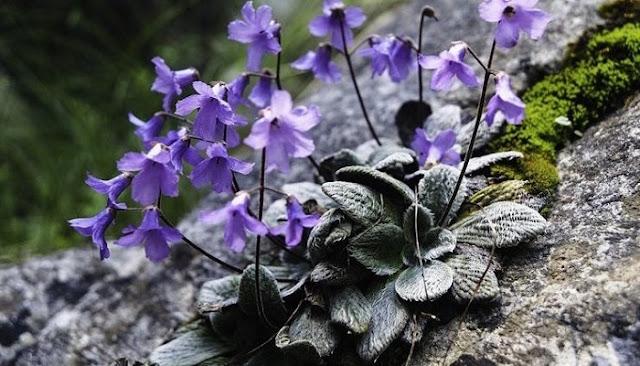 Στον Όλυμπο Φυτρώνει Ένα Λουλούδι Που Δεν Υπάρχει Πουθενά Αλλού