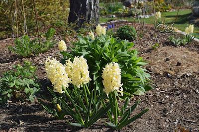 Hyacint 'Gipsy Princess'