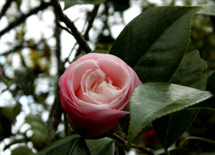 camellia williamsii julia hamiter