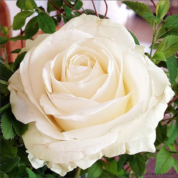 rose © sylvia • sro 2016